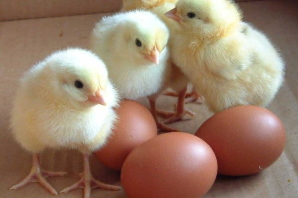 eggs_with_baby_chickens
